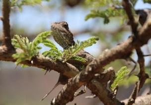 Hells Gate National Park - Chameleon