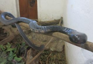 Black Mamba at Snake Park