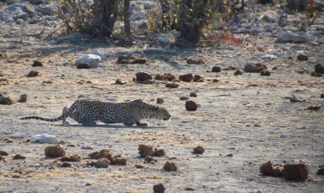 Etosha National Park - The Leopard in stalking mode