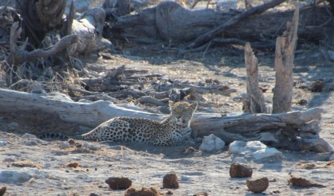 Etosha National Park - The Leopard!
