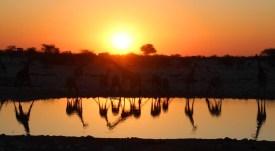 Etosha National Park - Giraffes at sunset beside the waterhole at the campsite!