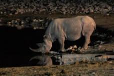 Etosha National Park - Rhino drinking at the waterhole beside the campsite!
