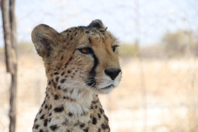 The tame cheetahs at the Cheetah Park