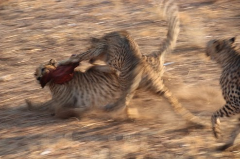 The 'wild' cheetahs at the Cheetah Park