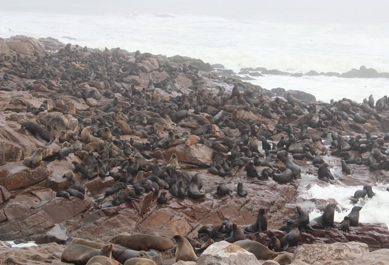 Seals at the Cape Cross Seal Colony on the Atlantic Ocean