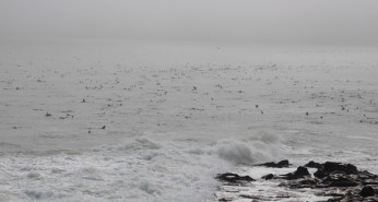 Thousands of seals in the ocean at Cape Cross Cape Fur Seal colony