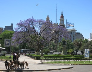 One of the famous 'dog walkers' of Buenos Aires, just mind all the dog poo on the path!
