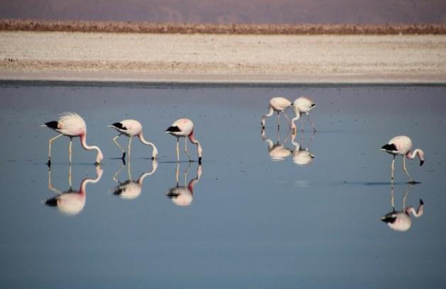Flamingos in the salt flats
