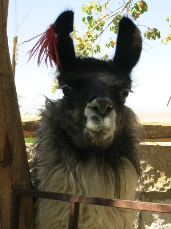 Alpacas in the town of Toconao