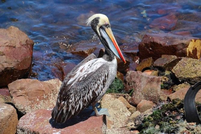 Prettiest pelicans we have ever seen!