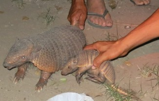 A visit from some armadillos