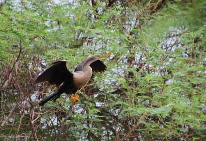 Local Pantanal bird