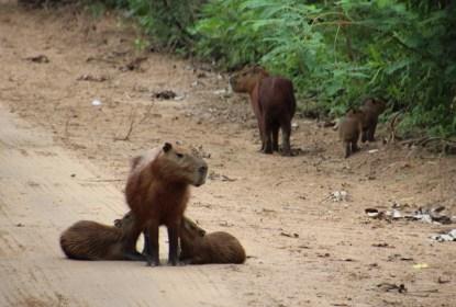 Capybaras feeding (the world's largest rodent)