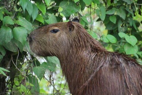 The weird looking Capybara (the world's largest rodent)