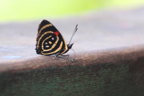 One of the many butterflies around the falls